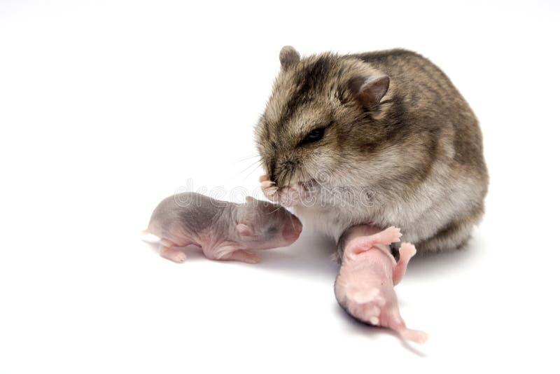 Hamster de bébé avec leur mère photos libres de droits