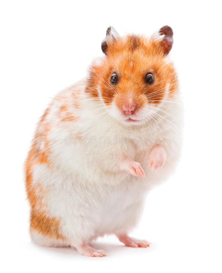 Hamster de Brown photographie stock