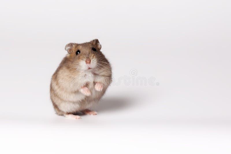 Hamster de Brown photographie stock libre de droits