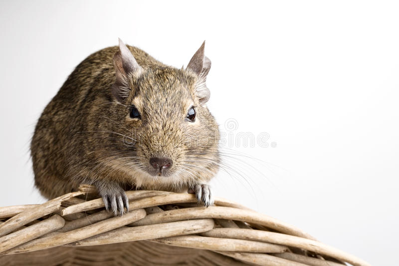 Hamster de Degu fotos de stock