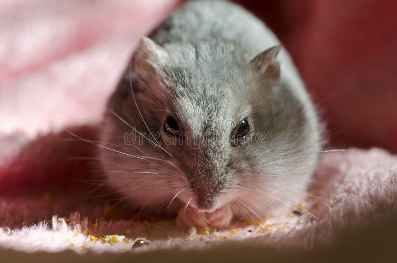 Hamster de Djungarian images libres de droits