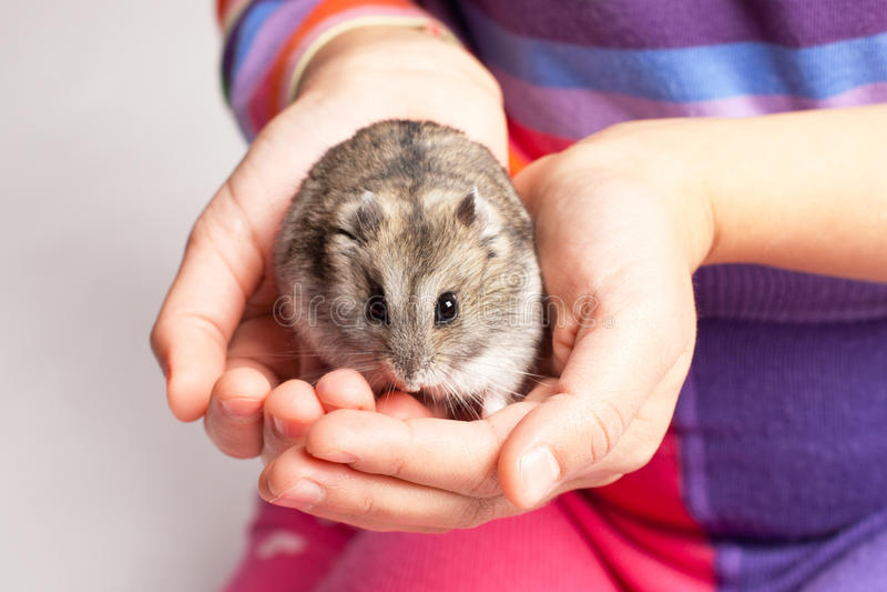 Hamster de Djungarian dans la main de fille photo stock