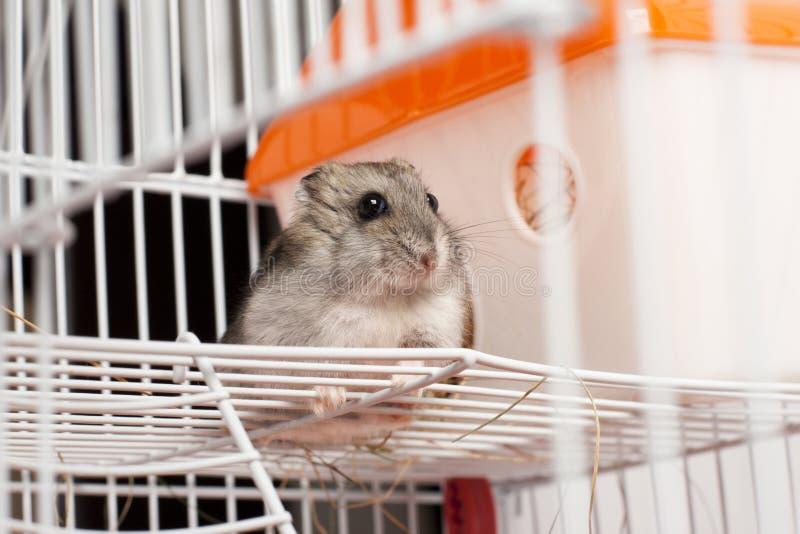 Hamster de Djungarian dans une cage image stock