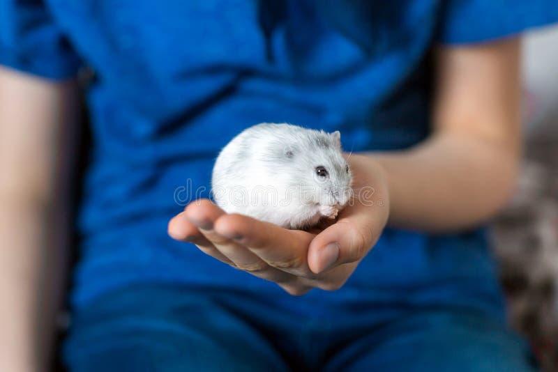 Hamster de Djungarian disponible photo libre de droits