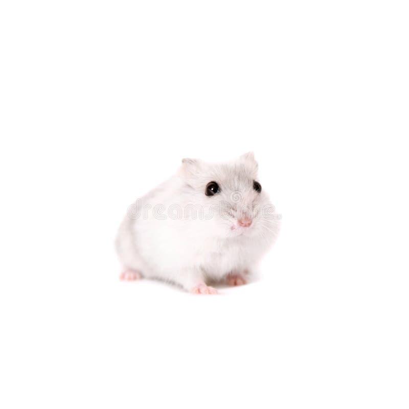 Hamster de Djungarian, sungorus de Phodopus, bébé image stock