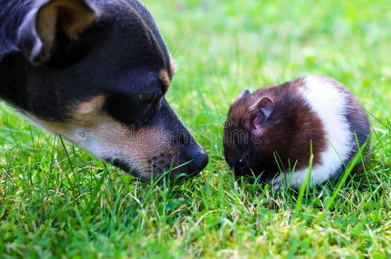 Hamster de rassemblement de Pincher photographie stock