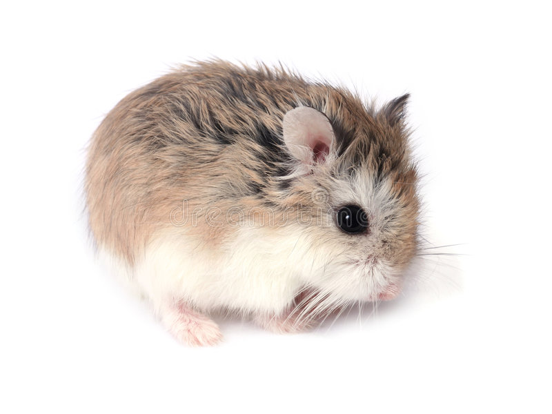 Hamster de Roborovski image libre de droits