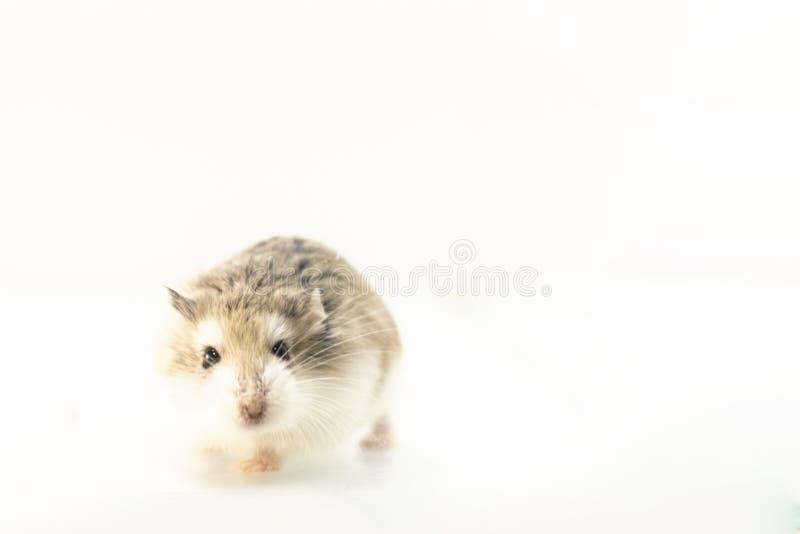 Hamster de Roborovski d'isolement sur le fond blanc photos stock