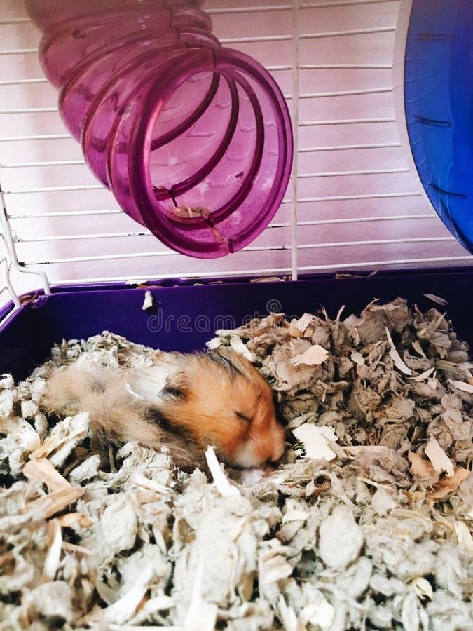 Hamster de sommeil image libre de droits