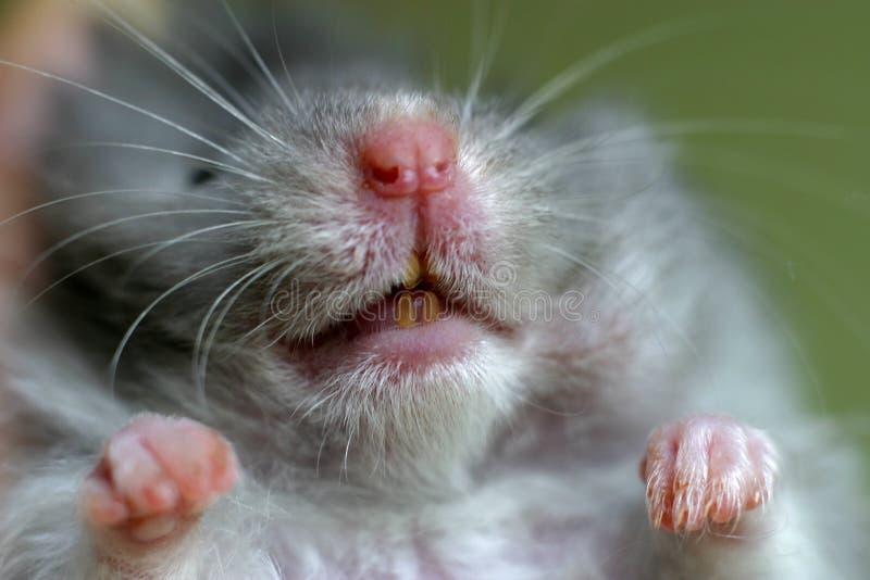 Hamster de verticale images stock