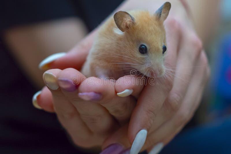 Hamster in den Armen eines erwachsenen Mädchens lizenzfreies stockbild