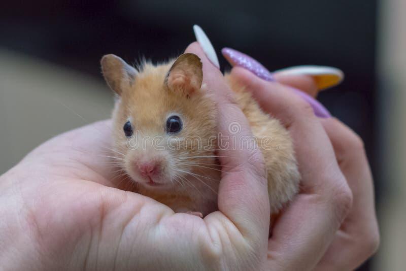Hamster in den Armen eines erwachsenen Mädchens stockfoto
