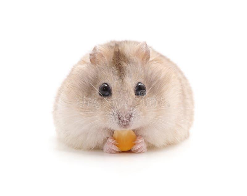 Hamster, der isst stockfotos