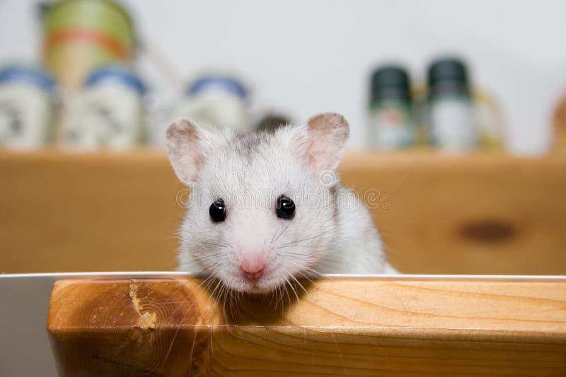 Hamster in der Speisekammer lizenzfreies stockbild