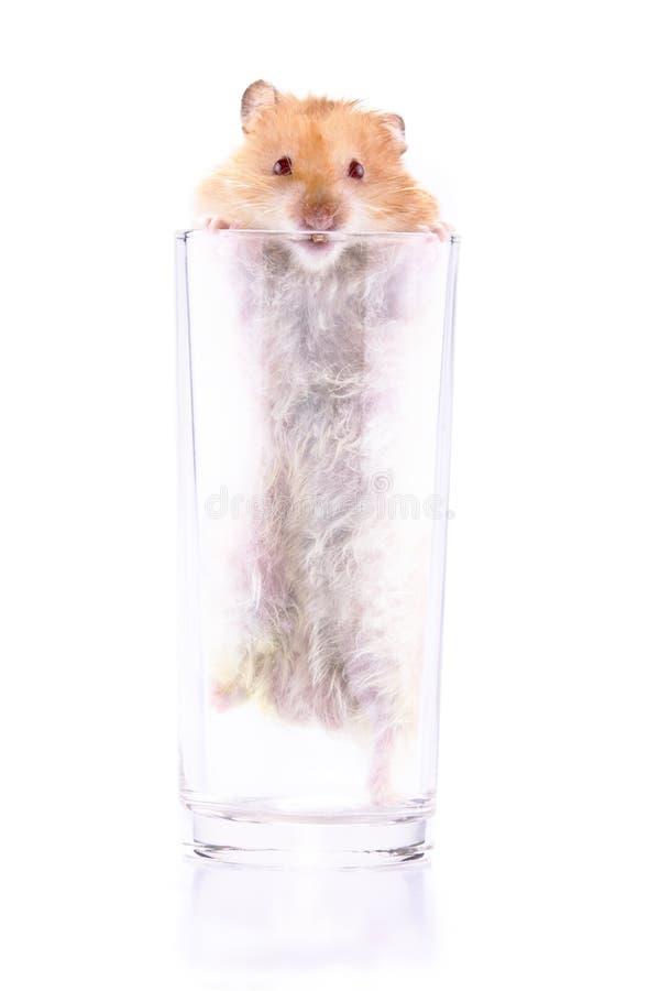 Hamster die in een glas wordt opgesloten royalty-vrije stock afbeeldingen
