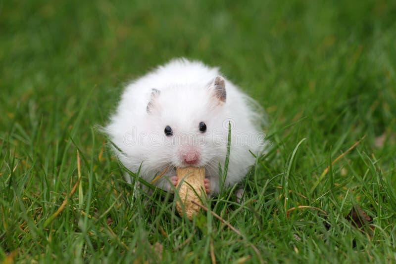 Hamster die een pinda eet stock foto's