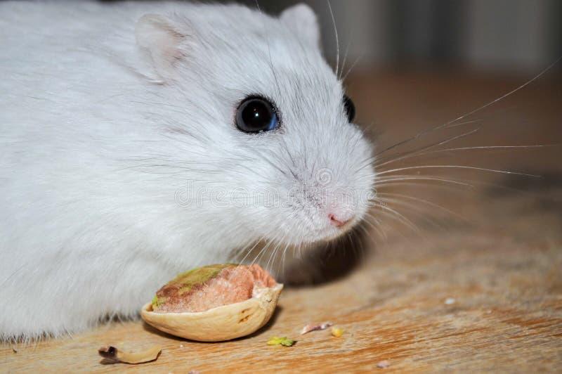 Hamster die heerlijke pistacchionoot eten die zich op een houten stoel bevinden stock fotografie