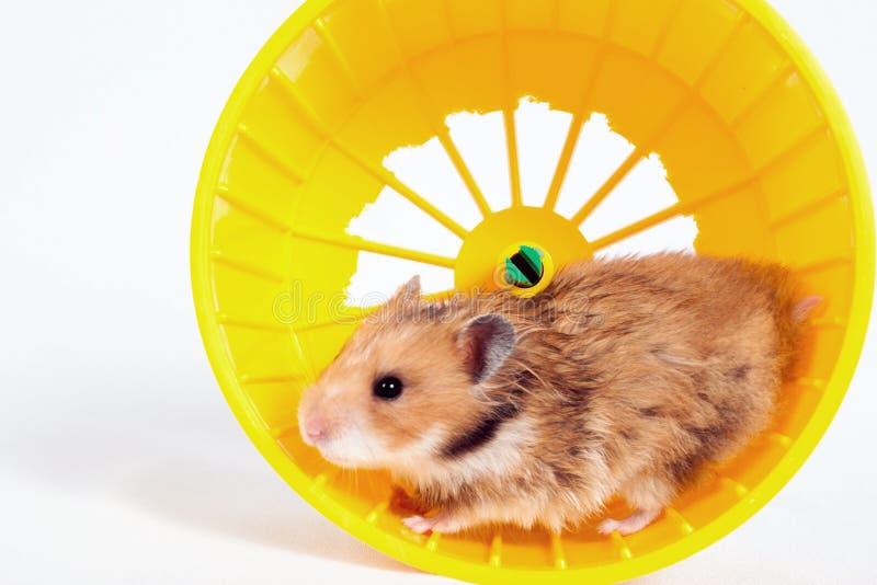 Hamster die in het lopende wiel lopen stock foto