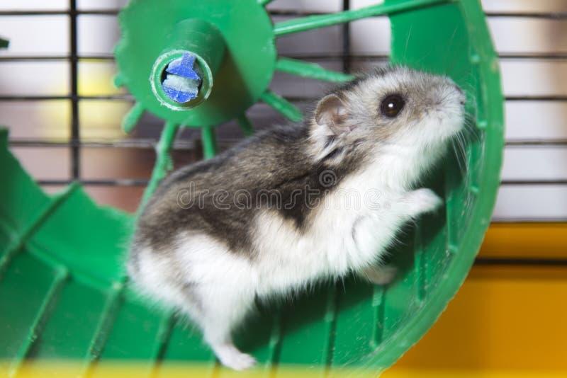 Hamster die op een wiel lopen stock afbeelding