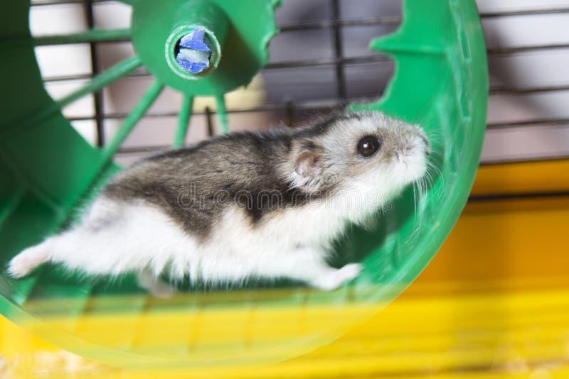 Hamster die op een wiel lopen stock foto