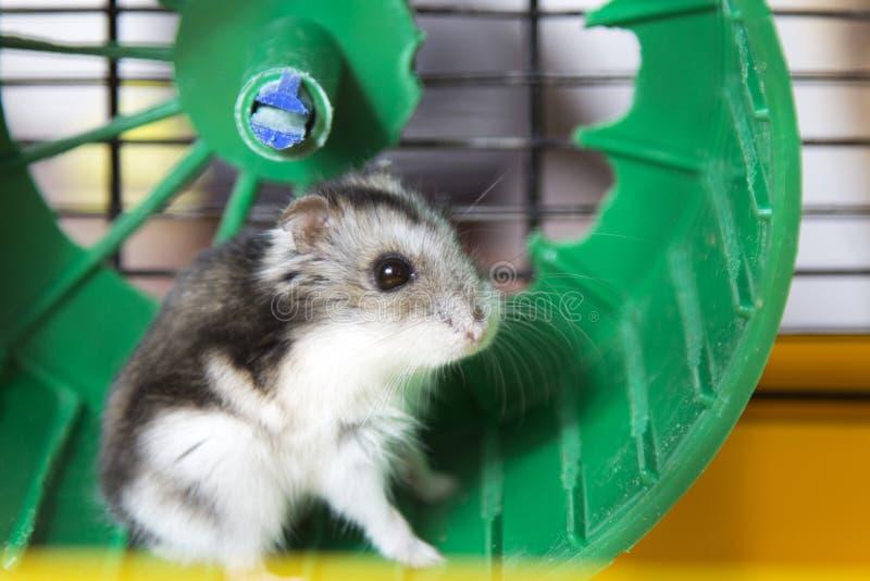 Hamster die op een wiel lopen stock foto's