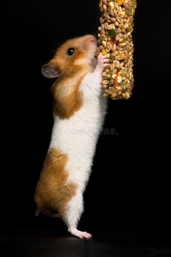 Hamster die voor voedsel bereikt stock fotografie