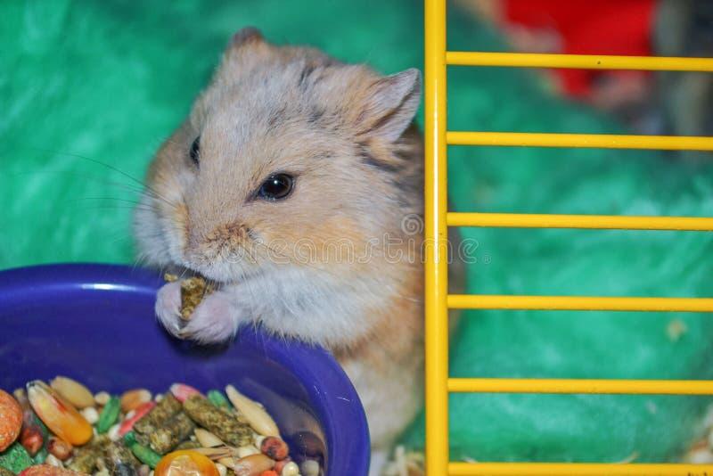 Hamster do anão imagens de stock