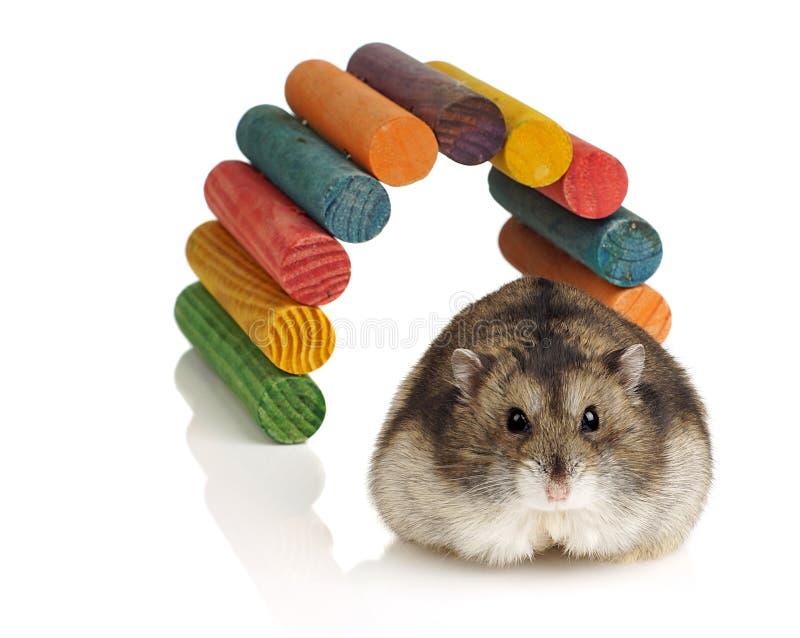 Hamster do anão fotos de stock