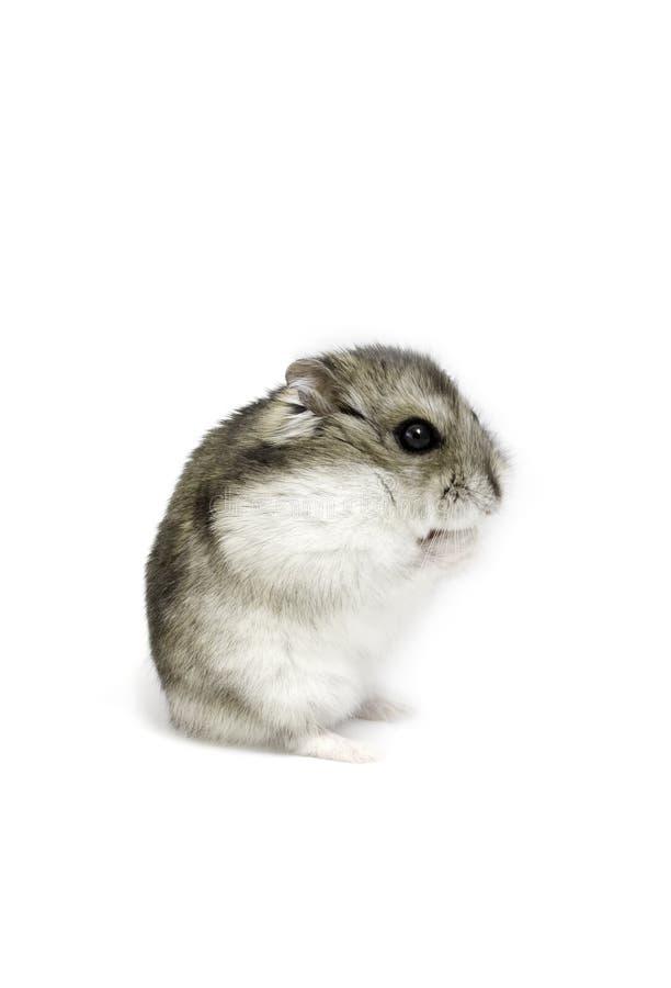 Hamster do anão fotografia de stock