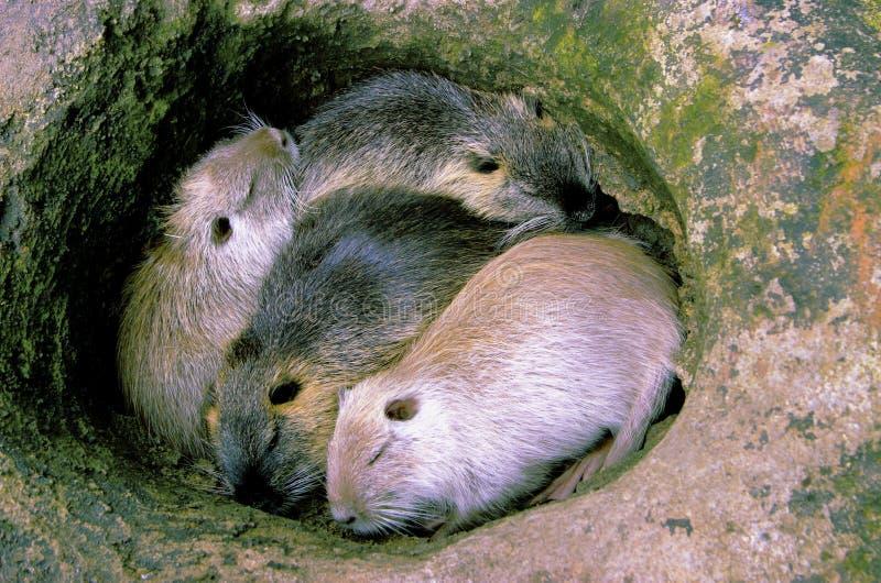 Hamster do sono imagem de stock