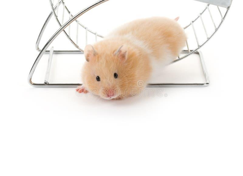Hamster do urso da peluche foto de stock