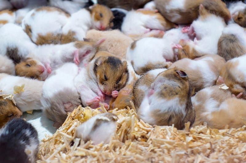 Hamster dormant ensemble en tant que groupe photo stock