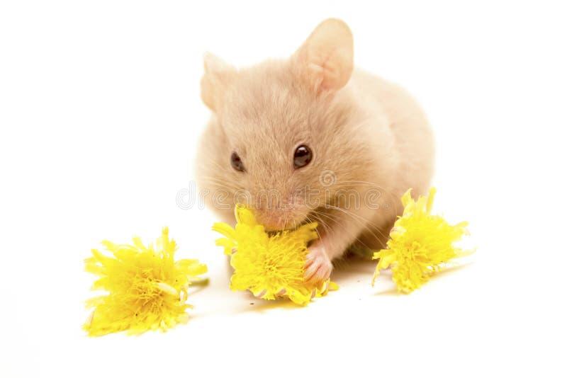 Hamster dourado pequeno que come flores amarelas fotos de stock royalty free