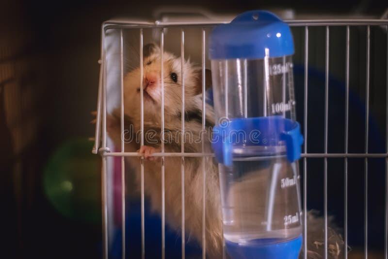 Hamster drôle mignon se reposant dans une cage image stock