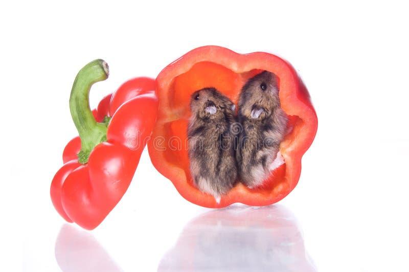 Download Hamster e pimenta lida foto de stock. Imagem de família - 12811760