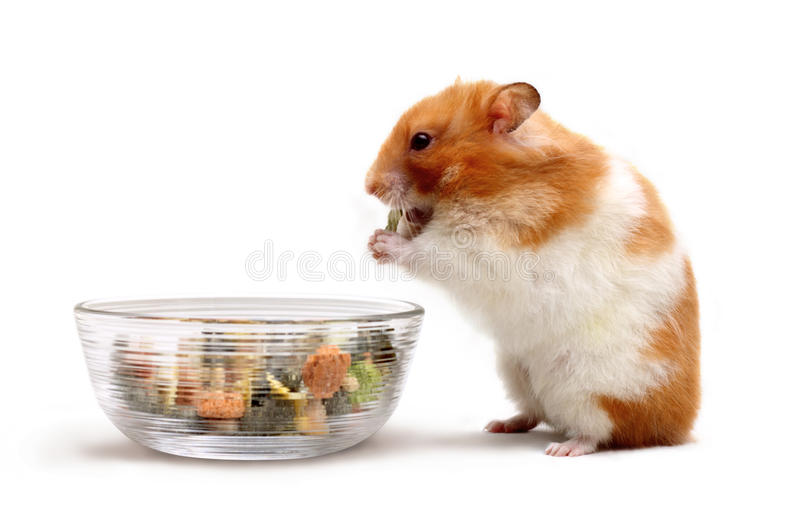 A hamster eating stock photos
