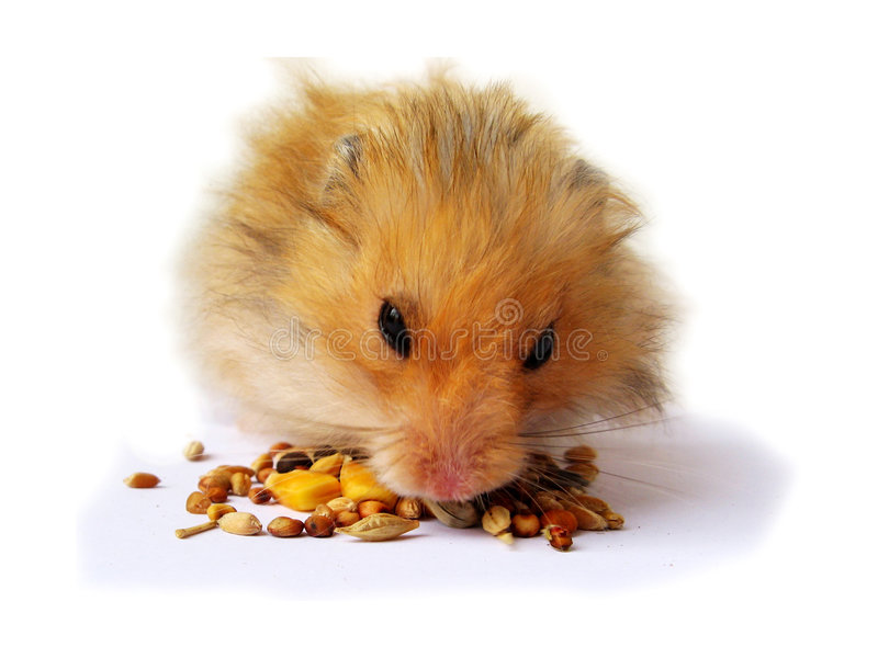 Download Hamster Eating Royalty Free Stock Image - Image: 5352556