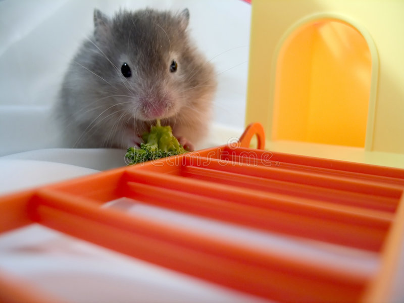 Hamster Eating Brocolli stock photos