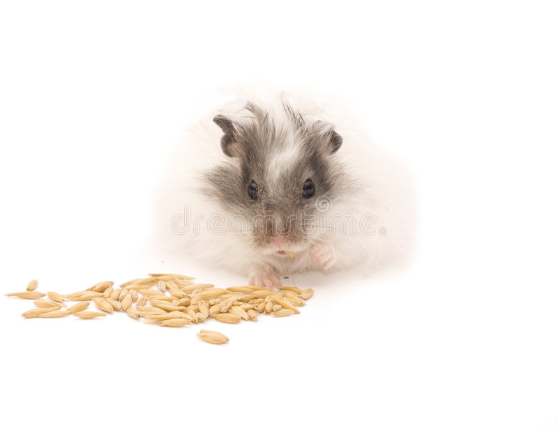 Hamster eating Oats grains stock images