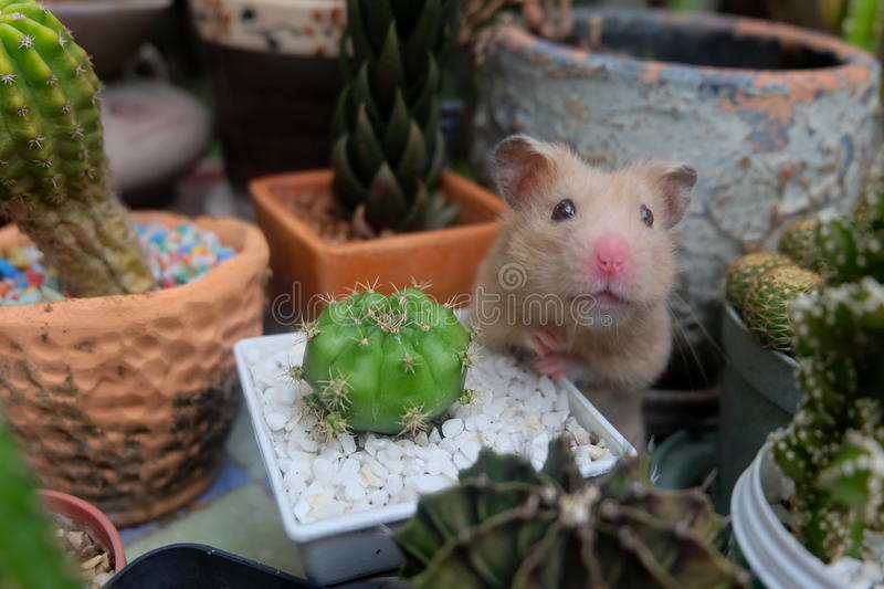 Hamster et cactus image stock
