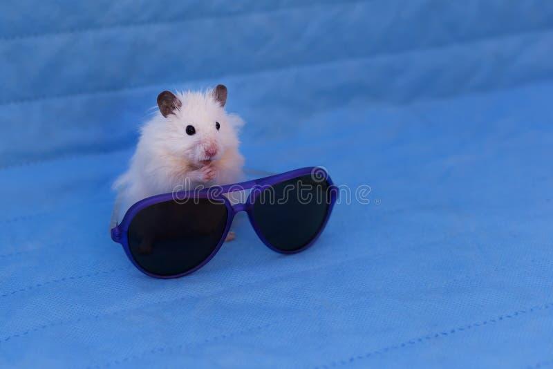 Hamster et lunettes de soleil photo stock