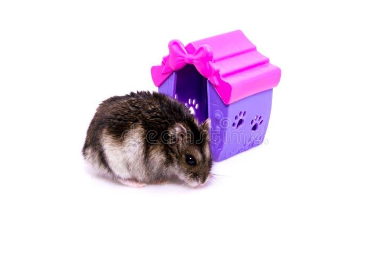 Hamster et maison d'isolement sur le fond blanc image libre de droits