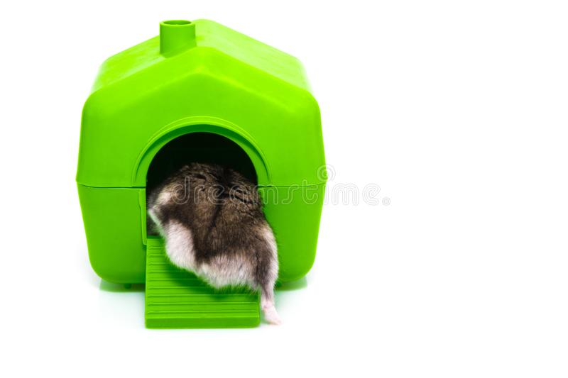 Hamster et maison d'isolement sur le fond blanc photos stock