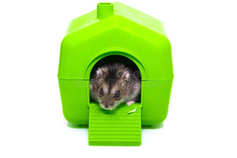 Hamster et maison d'isolement sur le fond blanc photo libre de droits