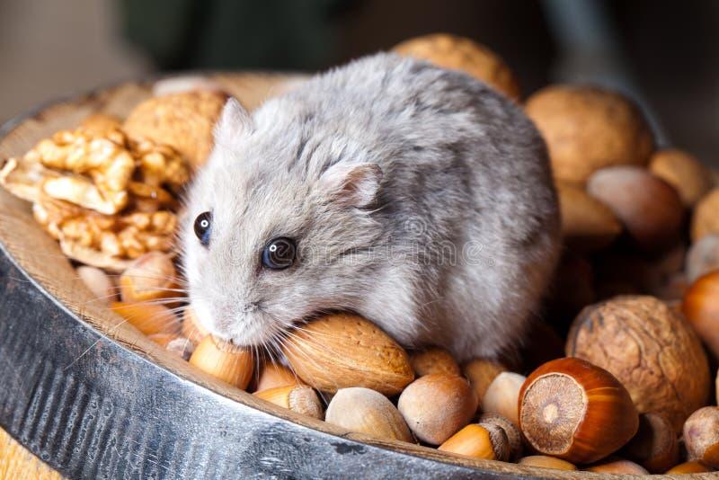 Hamster et noix photo stock