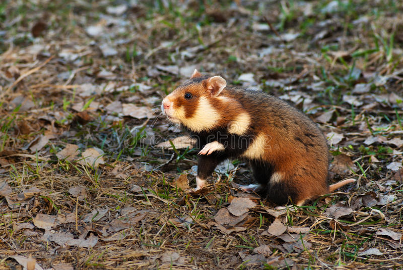Hamster europeu imagens de stock royalty free