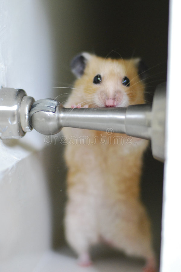 Hamster Exercise royalty free stock photo