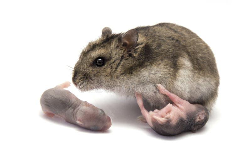 Hamster femelle avec ses hamsters soutenus nouveau par bébé photographie stock libre de droits