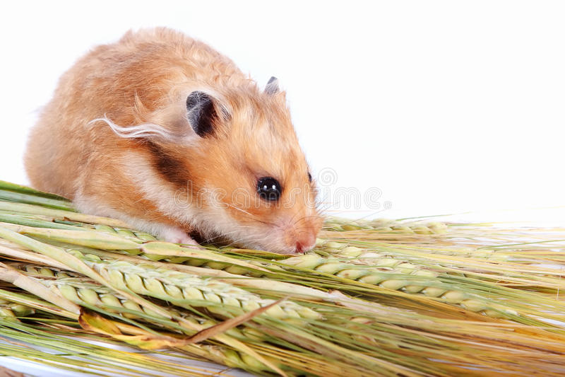Hamster with food. On a white background royalty free stock photo