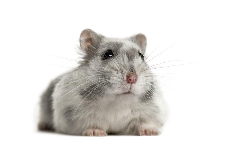 Hamster geïsoleerd liggen, stock fotografie